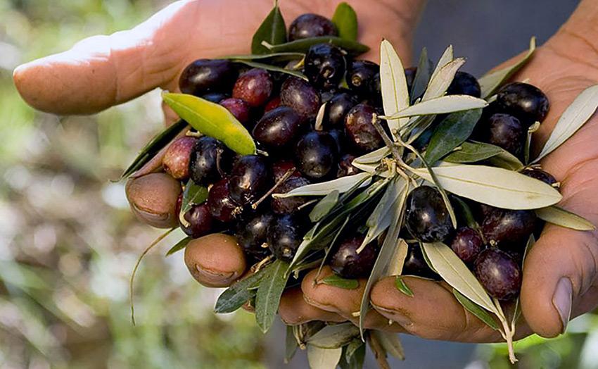 Caratteristiche olio extravergine di oliva Carolea