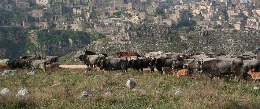 Vacche Podoliche sulla murgia