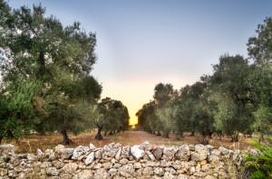 Olio extravergine di oliva pugliese: che bontà