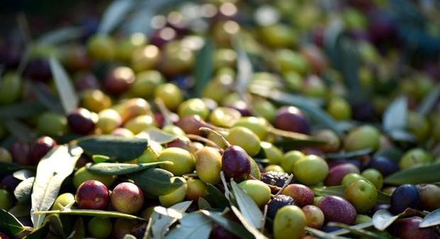 Caratteristiche olio extravergine di oliva Leccino