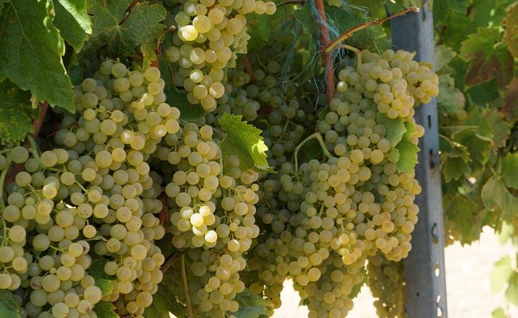 uve ugni blanc
